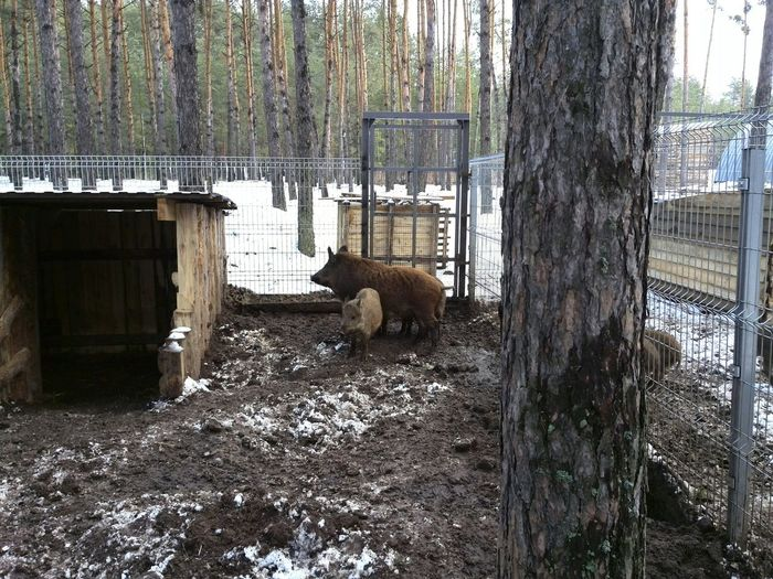 Семейство кабанчиков. 🐗🐗🐗🐗 Little Boars Boars зима в лесу