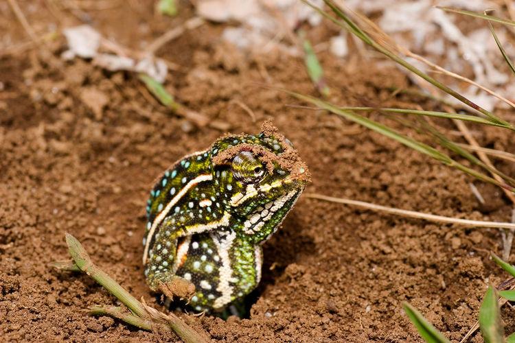 Chameleon depositing the eggs in the soil, andringitra national park, madagascar