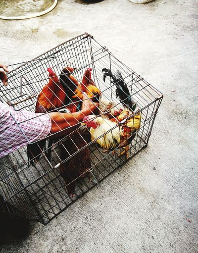 chicken in a cage Chicken Chick Hen Fried Chicken Cage Animal Pet Poultry Egg Male And Female Agriculture Slaughter Sembelih Farm Farm Life Farming Market Wet Market Kenduri Majlis Ayam Kampung Bird Bacteria Healthy Eating Organic Protein Mammal Seed Ayam Halal