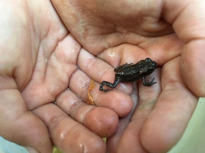 Little frog in little hands EyeEm Selects Human Body Part One Animal Body Part Hand Animal Wildlife First Eyeem Photo