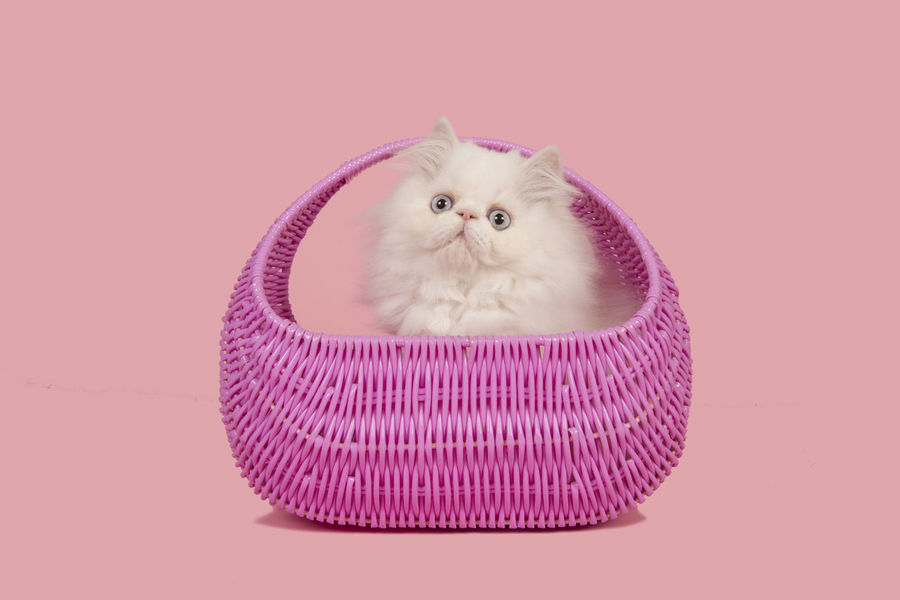 White persian longhair kitten with blue eyes in a pink basket on a pink background Persian Cat  Animal Animal Themes Cat Feline Kitten Persian Cat  Persian Kitten Pets Pink Basket Pink Color Purebred Cat Studio Shot Whisker