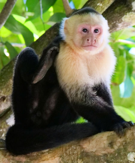 Fauna Indigenous Wildlife Wildlife Of Costa Rica Rainforest Jungle Forest Costa Rica Vacations Holiday Holidays Travel: Travel Destinations America Exotic Exotic Destination Exotic Destinations Tourism: Tourist: Tourists Cebus Imitator White-Faced Capuchin Capuchin Monkey Cebidae Mammal One Animal
