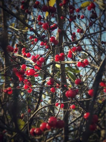 Red Fruit Tree Food And Drink Growth Outdoors Rowanberry Beauty In Nature Nature Branch Rose Hip Growing Day Food Freshness Focus On Foreground No People Twig Close-up