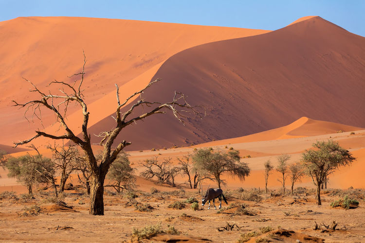 Scenic view of desert with oryx grazing on field against sky