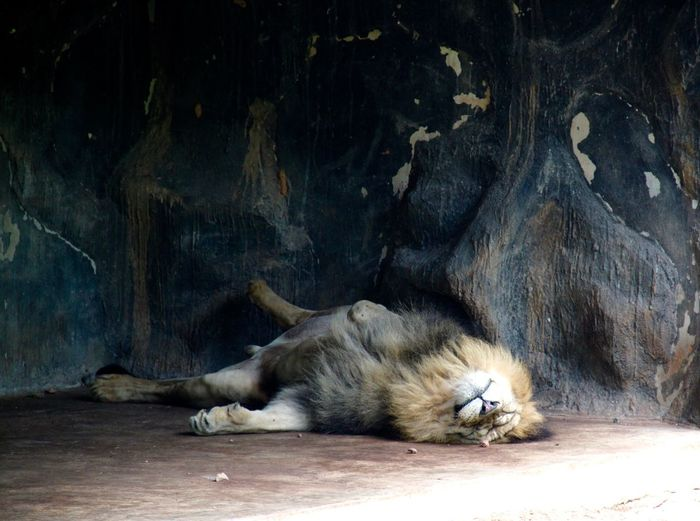 Lion Sleeping On Floor In Zoo
