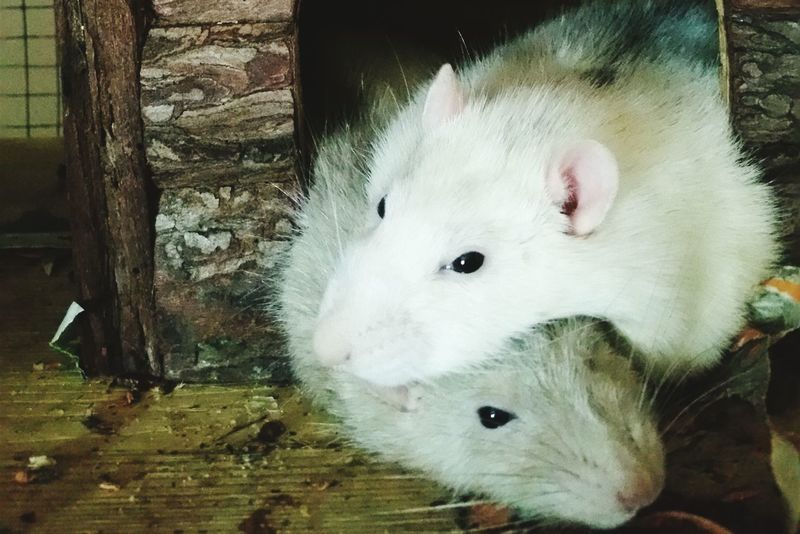 ᴘʜᴏᴛᴏɢʀᴀᴘʜɪᴇ Animal Rattie Rat Ratte Rats Ratstagram Cutie Sweet Cuddle Sleeping Picoftheday