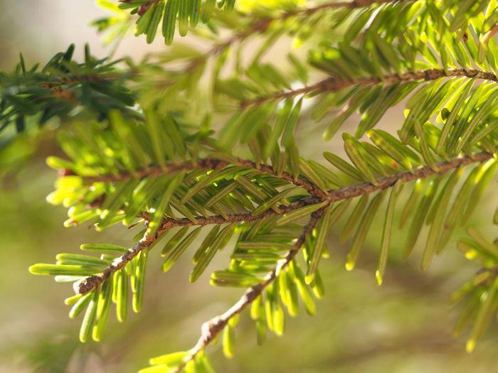 Close-up of raindrops on pine tree