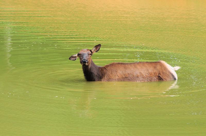Elk bathing in lake