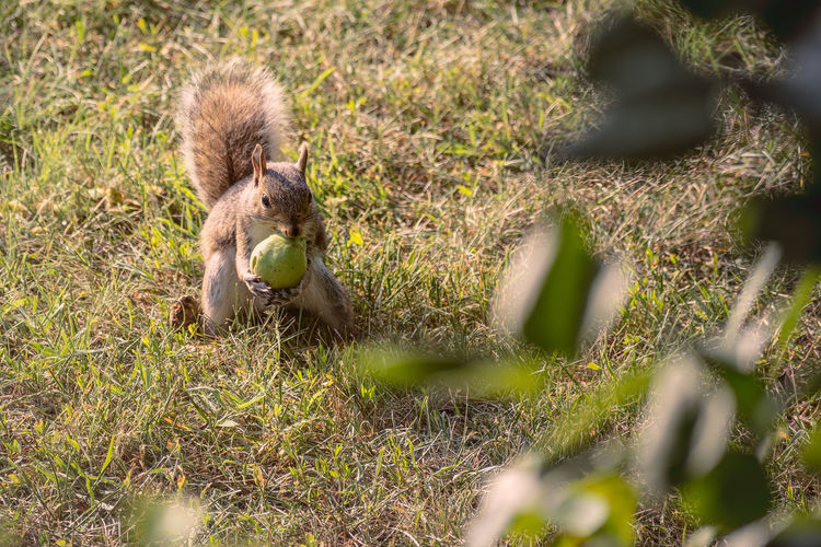 Squirrel Eating a Pear Squirrel Animal Animal Family Animal Themes Animal Wildlife Animals In The Wild Day Eating Field Food Grass Land Mammal Nature No People One Animal Outdoors Pear Plant Selective Focus Vertebrate The Great Outdoors - 2018 EyeEm Awards
