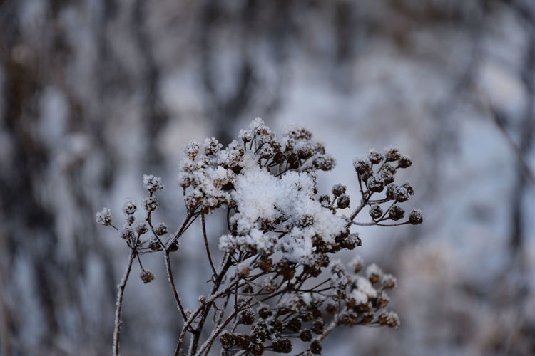 Snow on the seeds of a dry plant Seeds Plant Cold Temperature Snow Focus On Foreground Winter Beauty In Nature Day No People Nature Close-up Tranquility Plant Dried Dried Plant White Color Frozen Covering Fragility Vulnerability  Growth Outdoors