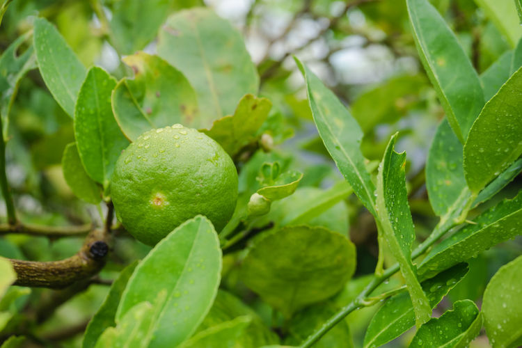 Close-up of fresh fruit on plant