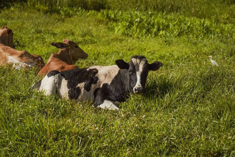 High angle view of cow on field