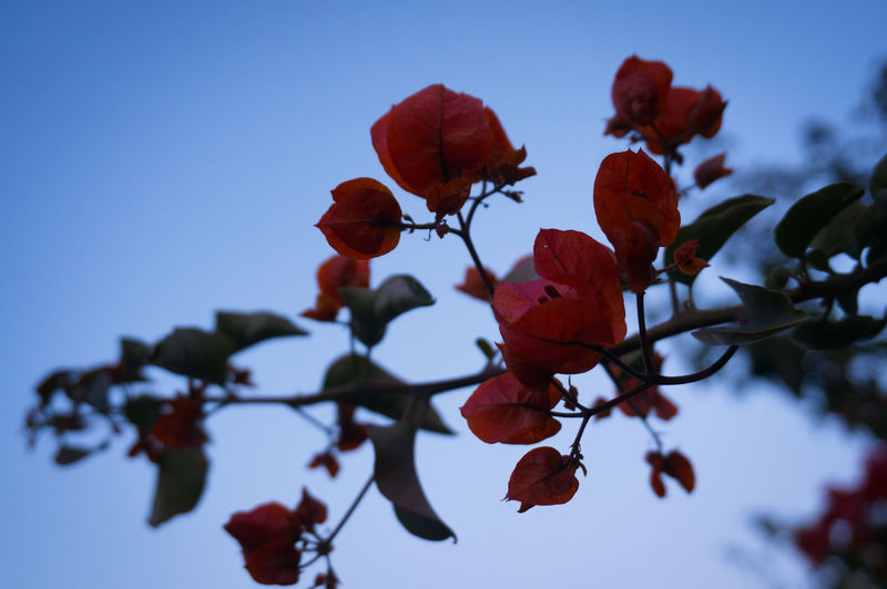 I can't resist Red 🥀😍 Rosé From Below Urban Nature Nature Plant Outdoors Leaf Beauty In Nature Fragility Freshness Shades Of Red Flower Flowers Reddish Blue Sky On The Road MnM MnMl Mnmlsm Minimalism Minimal Minimalistic Minimalmood Minimalist