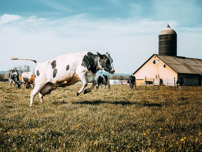 Cow running on grassy field against sky during sunny day