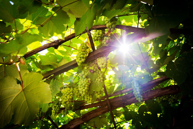 Grapevine Beauty In Nature Branch Bright Brightly Lit Day Grapes Green Color Growth Leaf Leaves Lens Flare Low Angle View Nature No People Outdoors Sky Streaming Sun Sunbeam Sunlight Tranquility Vine - Plant Vine Leaves Wine Plant
