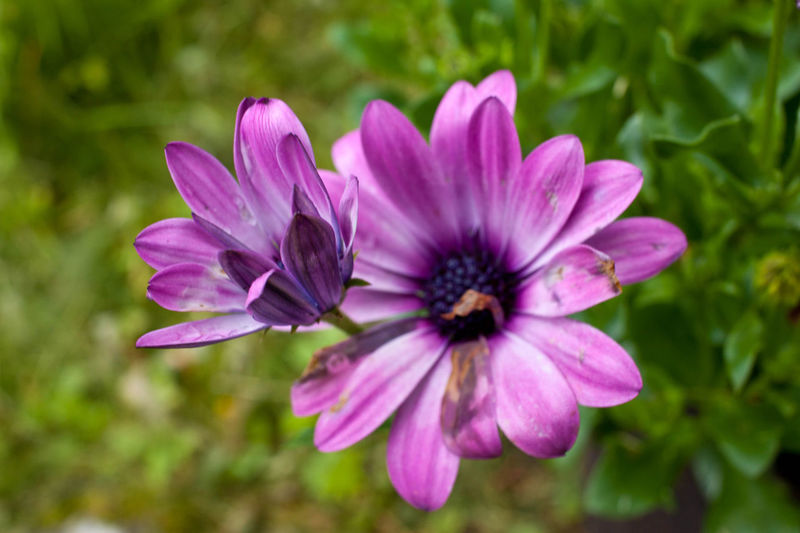 African Daisy Beauty In Nature Blossom Botany Close-up Day Flower Flower Head Focus On Foreground Fragility Freshness Growth In Bloom Nature No People Petal Pink Color Purple Selective Focus Single Flower