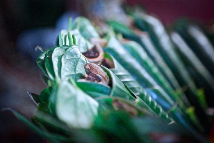 Beauty In Nature Beginnings Betel Close-up Focus On Foreground Green Green Color Growing Growth Leaf Leaves Nature New Life No People Outdoors Plant Sacrifice Selective Focus Stem Thailand Thailand.. Tranquility
