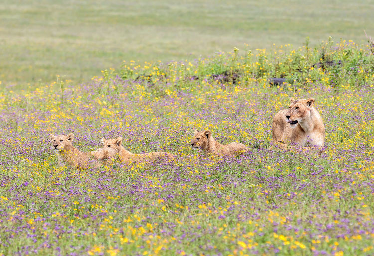 Lioness and lion cubs sitting amidst flowering plants on field