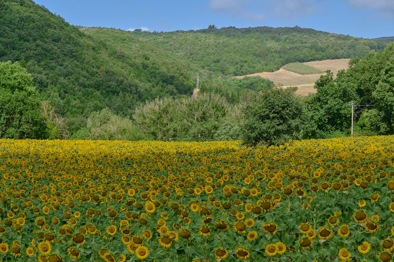 Scenic view of yellow flower field