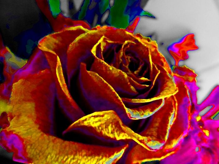 this flower I gave her a second life .for ever .she gave me a lovely time .the joy allotof beutyand I was crazy about it.but she was ded after a short time of life .I needed to remember her before she will disappear for ever .I made her a beauty. and gave her a second chance life forever . Flowers Editing Picture . Art