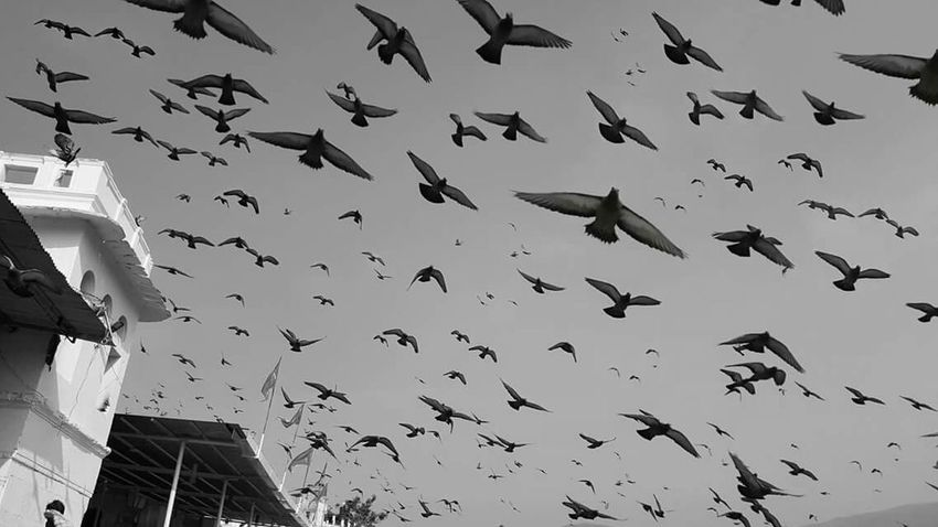Pigeons Pigeon Bird  Pigeons In Flight Pigeons ATTACK Incredible India India Incredibleindia Temple Pushkar Pushkardairies Naturelovers Nature Photography Blackandwhite Black&white EyeEm Best Shots - Black + White EyeEm Best Shots Eye4photography  EyeEmBestPics EyeEm Gallery Eyemphotography