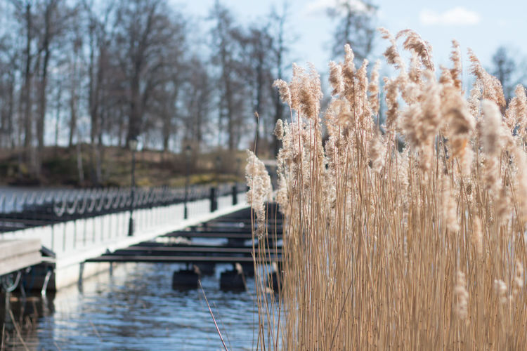 A cold but sunny day in early spring. Nature Plant Day No People Beauty In Nature Tranquility Outdoors The Purist (no Edit, No Filter) Sunshine Day Blue Sky And Clouds Water Tree Focus On Foreground Cold Temperature Winter Growth Lake Sky Transportation Land Snow Timothy Grass