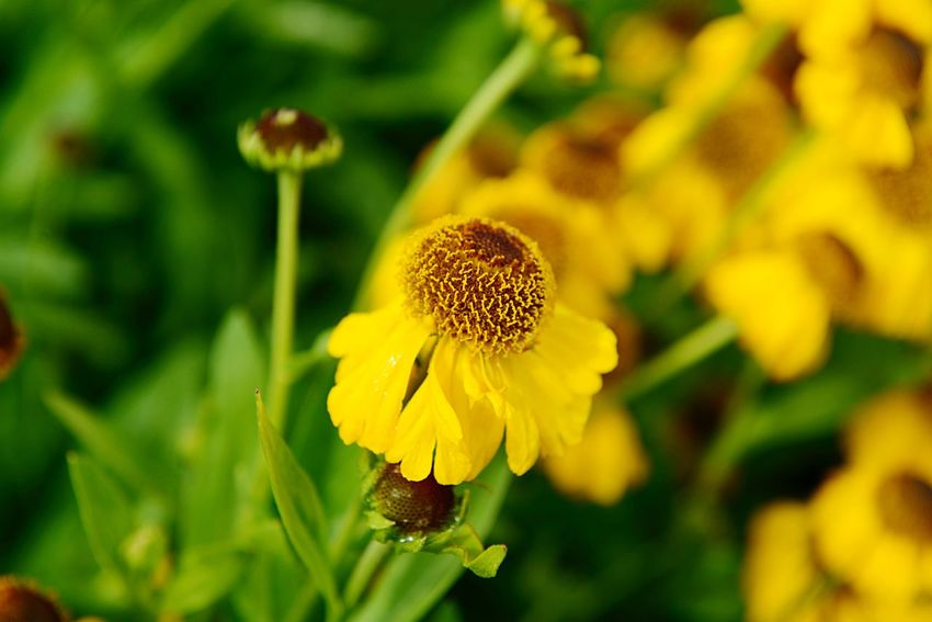 Helenium Bigelovii The Bishop Sneezeweed Botany Flower Flowering Plant Plant Growth Fragility Beauty In Nature Vulnerability  Flower Head Inflorescence Petal Yellow Freshness Close-up No People Focus On Foreground Pollen Nature Day Coneflower Outdoors