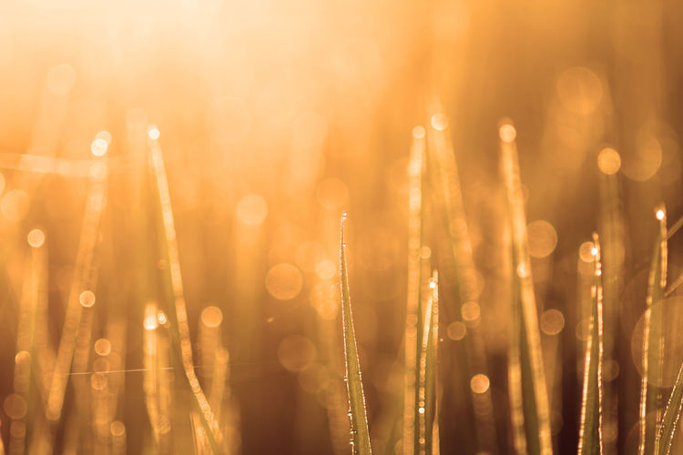 background of grass with bokeh No People Selective Focus Close-up Focus On Foreground Defocused Light - Natural Phenomenon Lens Flare Orange Color Wet Nature Abstract Illuminated Drop Outdoors Sunlight Gold Colored Backgrounds Lighting Equipment Plant Dew