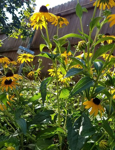 Growth Nature Leaf Plant Day Outdoors Green Color Tree Beauty In Nature No People Freshness Close-up Black Eyed Susans Perennials Yellow Flower Garden Photography Garden Flowers Summer Summer Garden Birdhouse Flowers Flowers,Plants & Garden Flowers, Nature And Beauty Closeup Rudbeckia