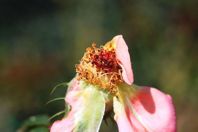 Close-up Day Dead Rose Fiè Allo Sciliar Flower Flower Head Italy Nature No People Outdoors Petal Summer 2016 Südtirol