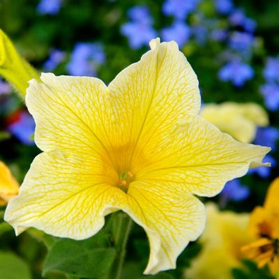 Nature Flower Colors Blue Yellow Plant
