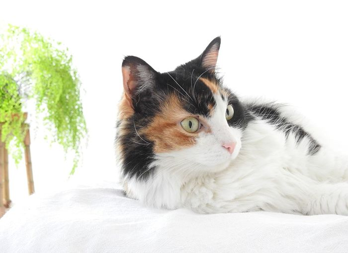 Sesion de modelase con Clementina Pets Domestic Animals Domestic Mammal Vertebrate Animal Themes Animal Cat One Animal Domestic Cat Feline Furniture Bed Relaxation Indoors  Looking Looking Away Close-up No People Portrait Whisker
