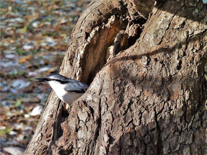 Animal Themes Animal Wildlife Animals In The Wild Bird Close-up Day Focus On Foreground Hollow Nature No People Nuthatch One Animal Outdoors Perching Tree Tree Trunk