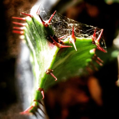 Insect Animals In The Wild Spider Web Animal Themes One Animal Spider Green Color Close-up Survival Leaf No People Outdoors Animal Leg Animal Wildlife Day Nature Cactus Gardening Garden Beauty In Nature Plant Nature Growth Cactusclub Cactusmagazine EyeEmNewHere
