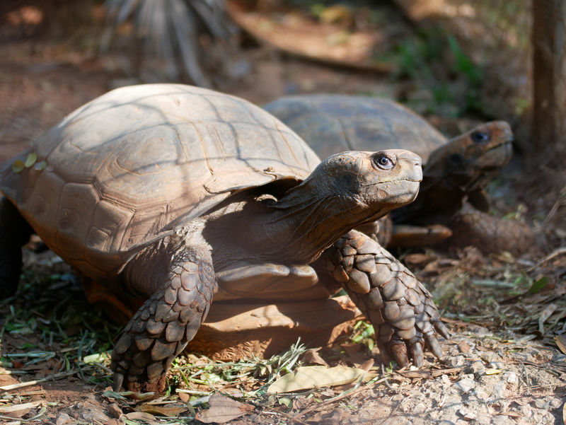 Animals In The Wild Reptile Turtles Animal Animal Photography Animal Shell Animal Themes Animal Wildlife Animals In The Wild Close-up Day Nature No People One Animal Outdoors Reptile Reptile Photography Reptiles Tortoise Tortoise Shell Turtle