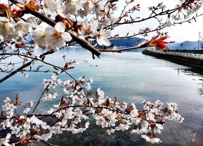 桜 Cherry Tree Ocean Sea Enjoying Life Hello World