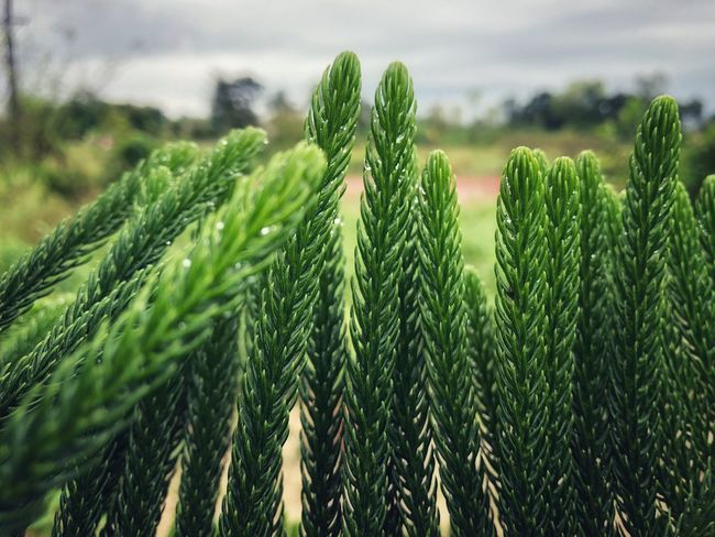 Tiered Pine Tiered Green Growth Plant Green Color Beauty In Nature Nature Agriculture Tranquility