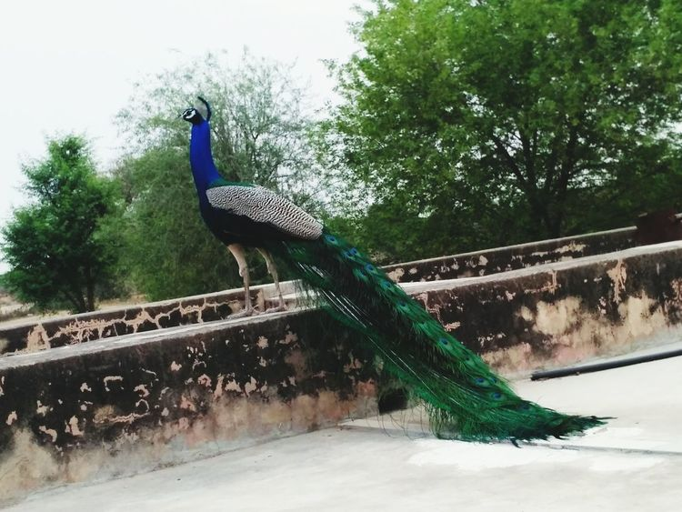 How beautiful are the peacocks!