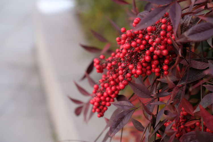 I don't know what this plant is, but the color of the fruit and leaves is very attractive. Beauty In Nature Close-up Focus On Foreground Growth Nature Outdoors Red Rowanberry Tree