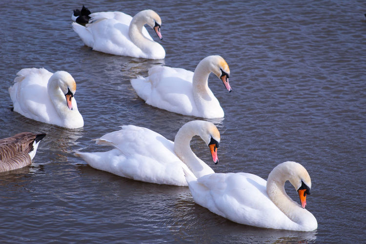 EyeEm Best Shots EyeEm Nature Lover EyeEmBestPics EyeEm Best Shots - Nature Beauty In Nature Wonders Of Nature Female Animal Male Animal Swan Bird Water Swimming Togetherness Lake Water Bird Young Bird Beak Mute Swan White Swan Animal Neck Adult Animal Freshwater Bird