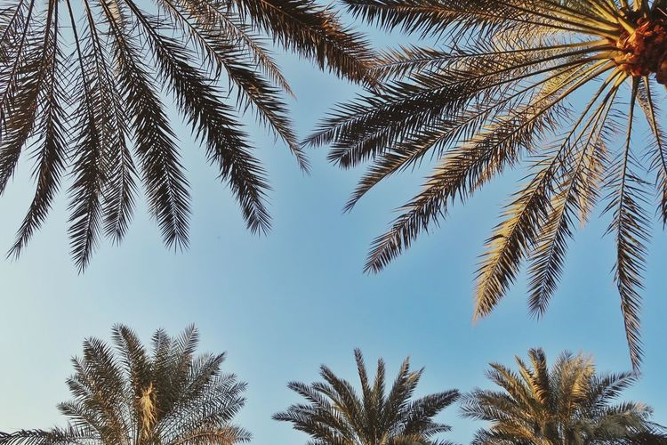 Clear blue sky EyeEmNewHere Tree Low Angle View Palm Tree Nature Day Growth No People Clear Sky Outdoors Beauty In Nature Sky EyeEmNewHere