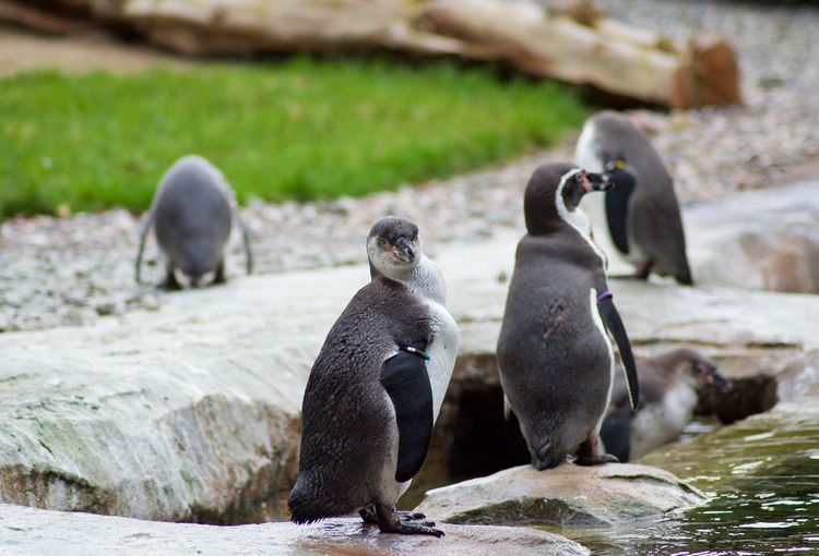 Group Of Animals Animal Themes Animal Animal Wildlife Animals In The Wild Vertebrate Penguin Bird Rock Rock - Object Solid Focus On Foreground Nature No People Two Animals Day Water Young Animal Togetherness Animal Family