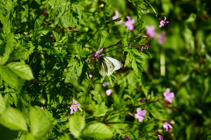 Summer in Ireland:) Beauty In Nature Blooming Blossom Butterflies Butterfly Close-up Day Flower Flower Head Focus On Foreground Fragility Freshness Green Color Growth In Bloom Leaf Nature No People Outdoors Petal Pink Color Showcase June Purple Selective Focus The Essence Of Summer