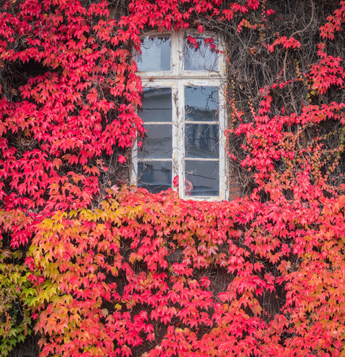 Red ivy on house with white window Plant Growth Flower Red Beauty In Nature Nature Architecture Flowering Plant No People Day Change Built Structure Window Autumn Building Exterior Freshness Leaf Plant Part Ivy Outdoors
