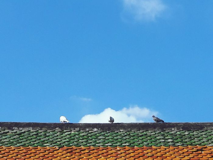Dove it... Roof Roof Tile Sky Outdoors Day No People Clear Sky Bird Architecture