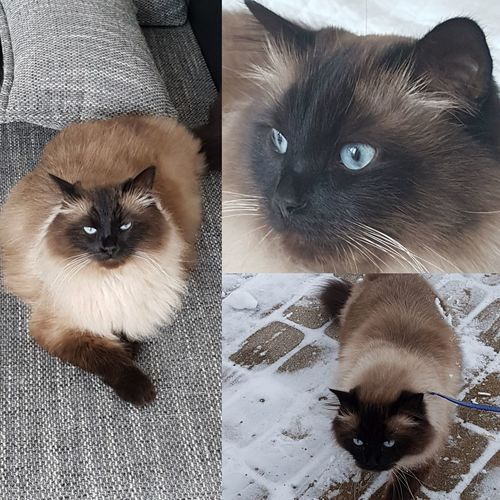 Love ♥ Mishka Blue Eyes Kat Kot Nature Pets Domestic Cat Domestic Animals Feline Looking At Camera Portrait Animal Themes Whisker Indoors  Kitten Cute Mammal No People Togetherness Young Animal Siamese Cat Close-up Day