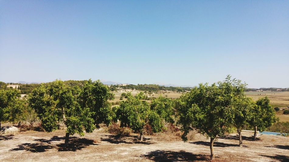 EyeEm Selects Agriculture Sunny Growth Tree Crop  Landscape Field Rural Scene Clear Sky Nature Fruit Day Arid Climate Winemaking Outdoors No People Winery Desert Olive Olive Tree Mallorca Mallorcaisland Summer Nature