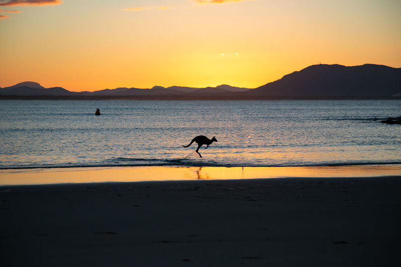 amazing evening and light... I felt so lucky!!! Sunset Water Sky Silhouette Sea Beach Animal Themes One Animal Animal Beauty In Nature Vertebrate Land Scenics - Nature Animals In The Wild Animal Wildlife Orange Color Mountain Tranquility Tranquil Scene Outdoors Kangaroo 2018 In One Photograph Moments Of Happiness