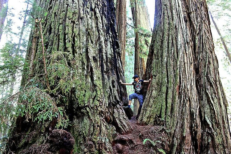 Prairie Creek Redwoods State Park Prairie Creek Redwood Trees Redwoods Redwood Forest Redwood Park In The Forest Forest Trees Tree Tree_collection  RePicture Growth The Great Outdoors With Adobe