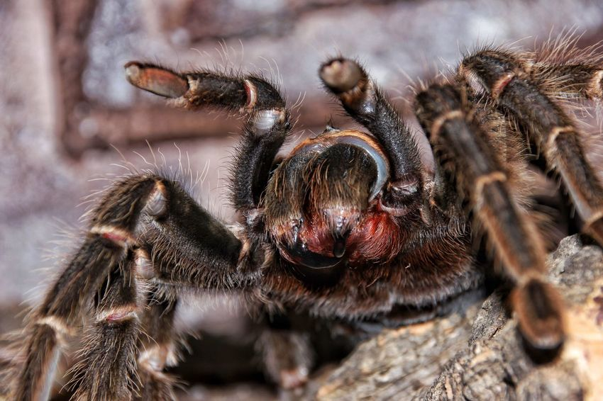 """Big mama"" Lasiodora parahybana female Bigmama Vogelspinne Tarantula Canon600D Afraid Fangs Lasiodora Parahybana Invertebrate Insect Animal Themes Animal Wildlife Animals In The Wild Animal One Animal Arachnid Close-up Spider Zoology Animal Leg Animal Body Part Nature Macro"